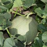 Pašu audzēta melone