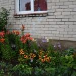 Zem mājas logiem sastādīti krāšņi ziedi