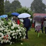 Baltās ziedu kupenas- hortenzijas
