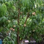 Natālijas kundzes izaudzētais persiku koks