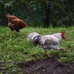 """Saimniecībā """"Branči"""" mīt aitas, vistas un gaiļi"""