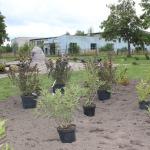 """8.septembrī, iesaistoties Meža dienu projektos, Kandavas novada domes darbinieki iestādīja košumkrūmus un kokus skvērā pie skulptūras """" Atvars"""""""